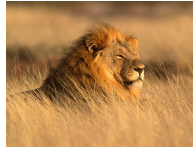 /_uploads/images/branch_tours/Surrey-South-Africa-Sep-2020-lion.png